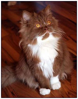 British Longhair Cat Cinnamon With White Pretty Cats Beautiful