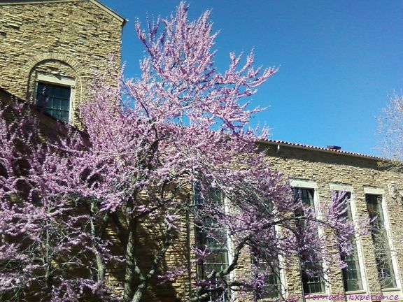 April Cherry Blossoms At The University Of Colorado Boulder University Of Colorado Colorado Favorite Places