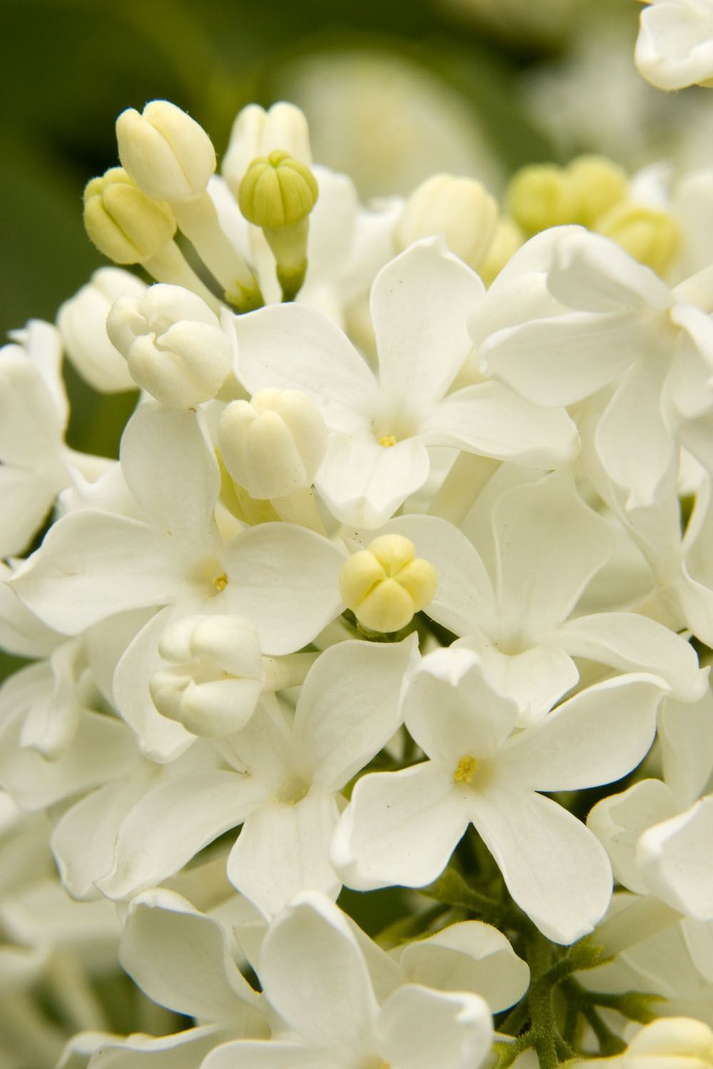Angel White Lilac One Of The Best Lilacs For Warm Winter Areas Spectacular Clusters Of Fragrant Pure White Flowers Produced Lilac Tree Lilac Syringa Vulgaris