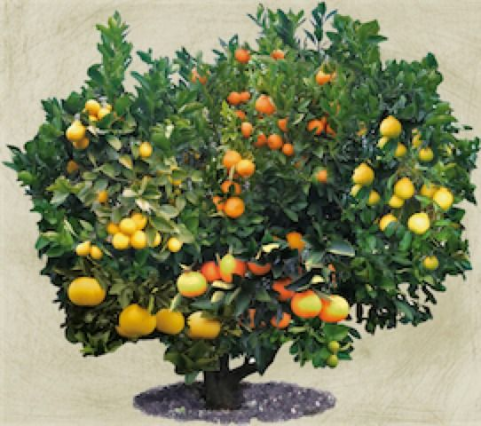 A Fruit Tree With Multiple Varieties Of Citrus On It Now I Just