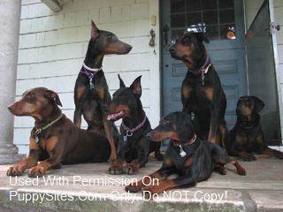 Doberman Pinscher Dog Puppy Websites Doberman