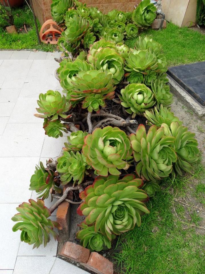 Aeonium Canariense Plantes Grasses Crassula