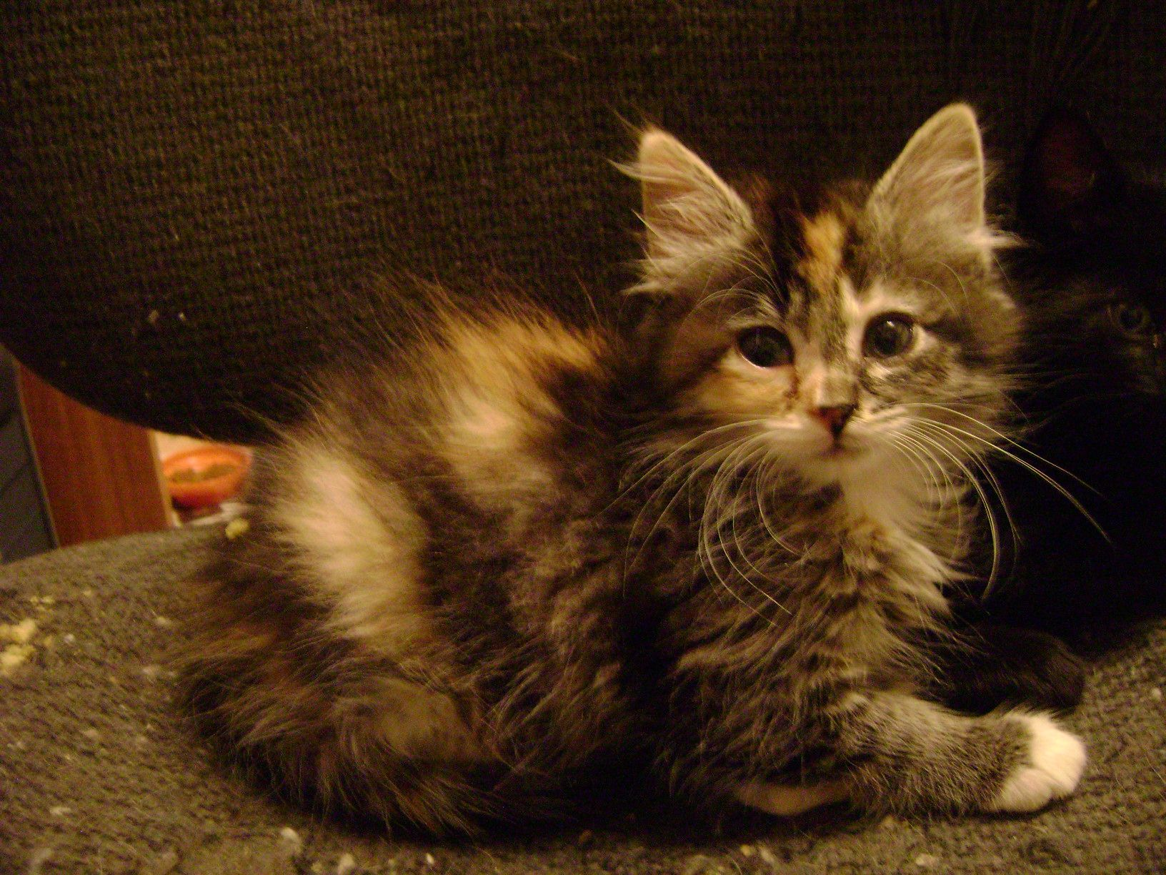 This Is A Kitten I Once Had Named Katie Scarlett Kitten Kittens Animals
