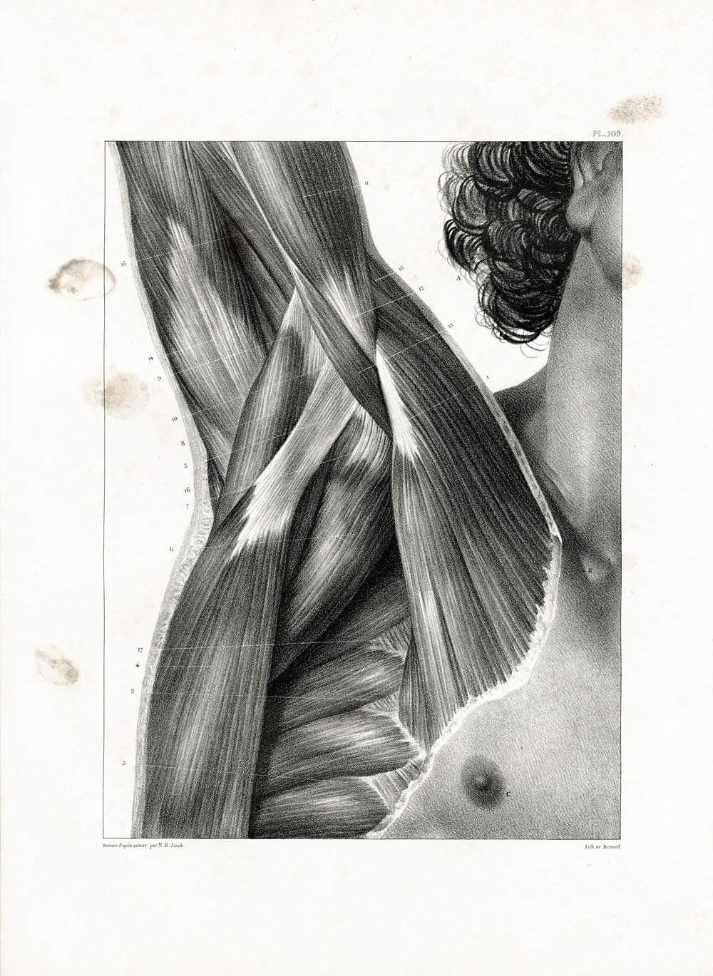1831 XL Shoulders muscles Print, Axilla Muscles UnderarmOxter Armpit ...