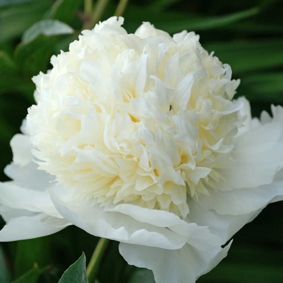 Distinctive Glorious Garden Silk Flower Centerpiece At Petals: Paeonia 'Charlie's White'