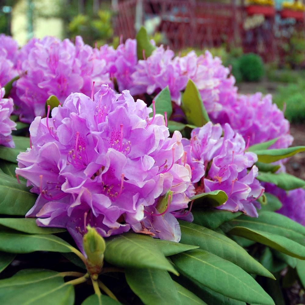 Lavender Rhododendron Shrub Fast Growing Trees Rhododendron