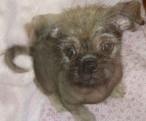 Pug And Chinese Crested Pugese With Images Pug Mixed Breeds