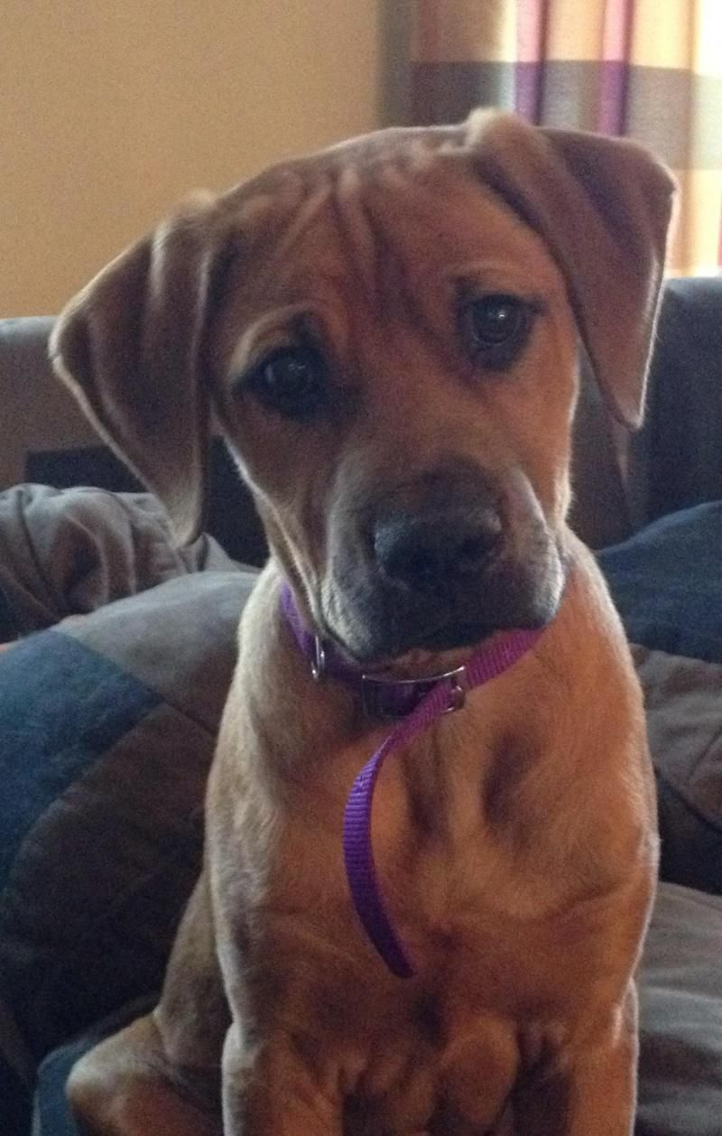Adopt Murphy On Petfinder Rhodesian Ridgeback Dog Dogs Rescue Dogs