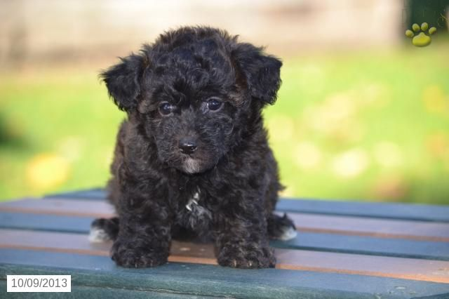 Bichapoo Puppy For Sale Puppies For Sale Puppies