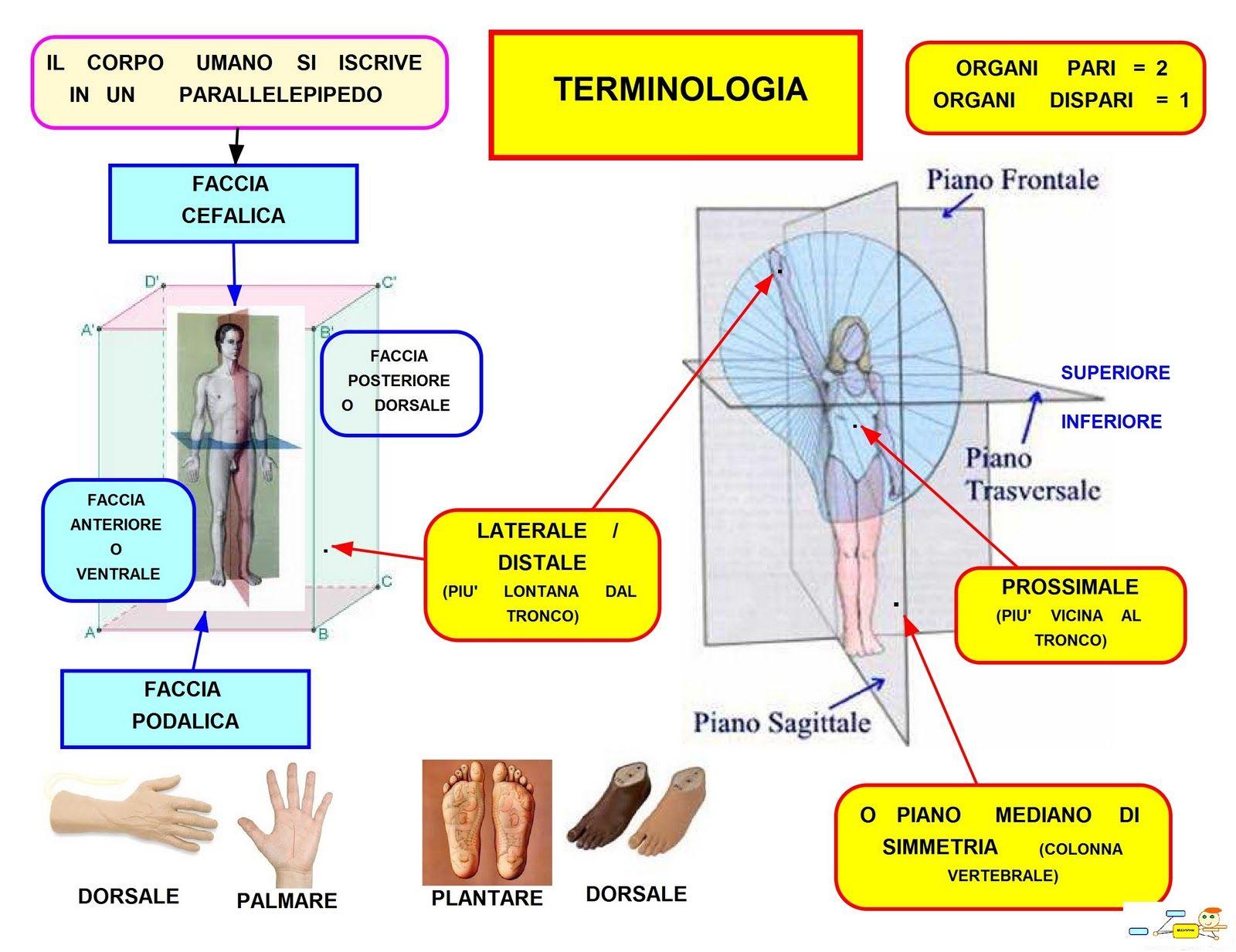 Amato Mappa Concettuale: Terminologia delle Parti del Corpo Umano  CA03