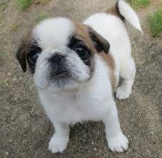 Shih Tzu Bulldog Mix Puppies And Kitties Pug Mixed Breeds Pug Mix