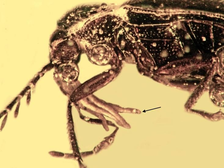 It wasn't birds or bees. Beetles pollinated orchids mllions of years ago, as fossils tell.