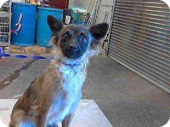 Pin by Moe Grealis on Dogs Chihuahua mix, Pets, Chihuahua