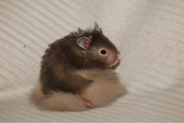 English Girl Canadian Man Syrian Hamster Cute Hamsters Hamster
