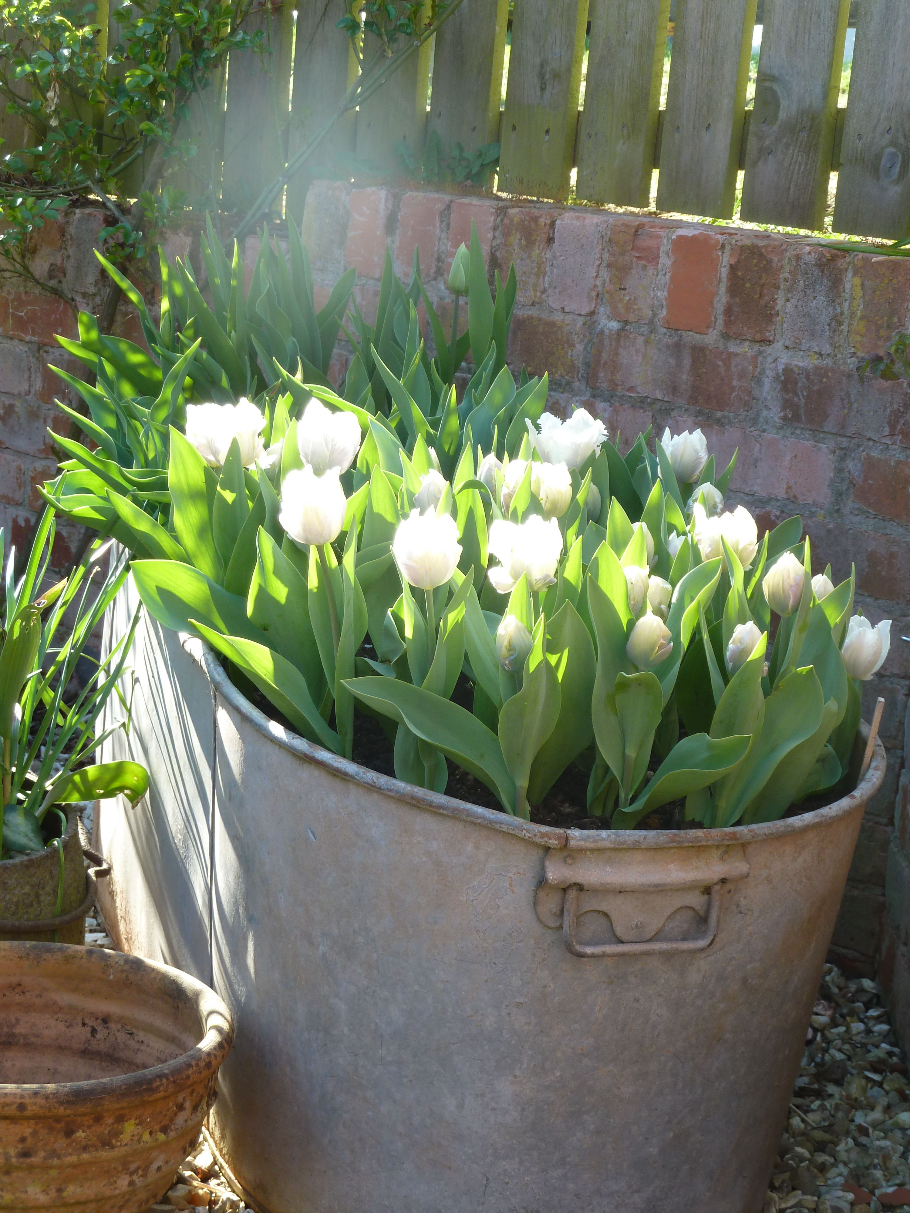 A very large old bath full of tulips