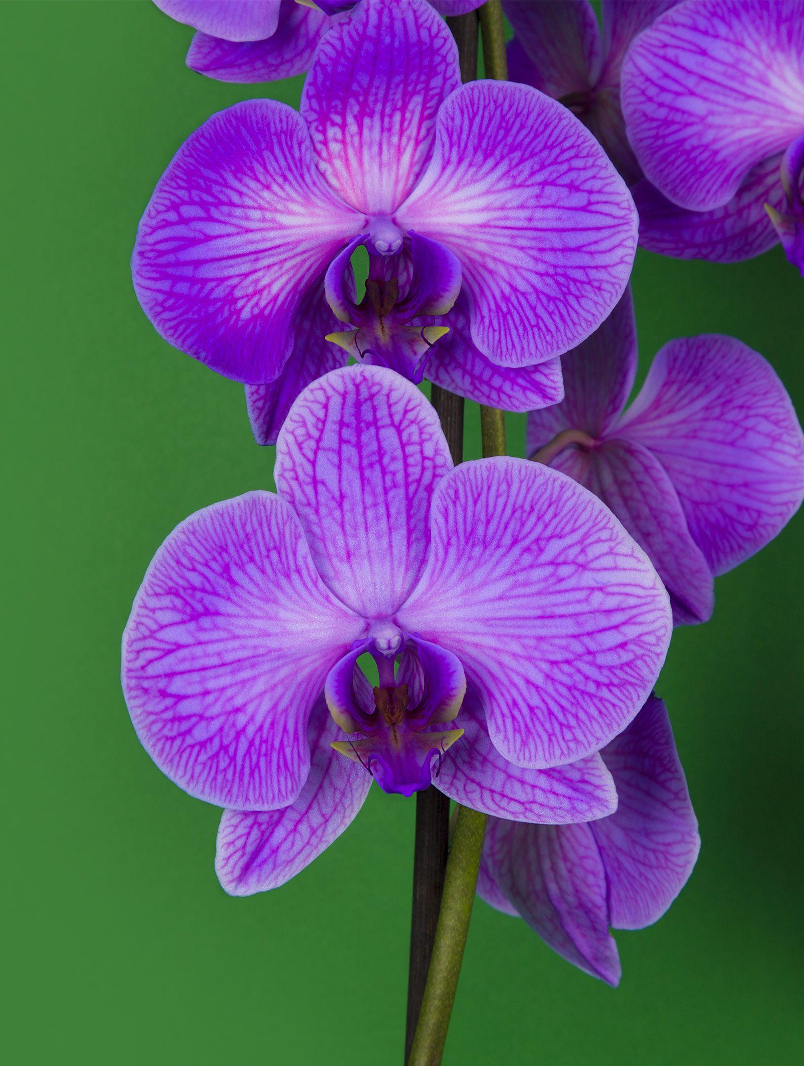 Orchidee Violette Serenite Livraison De Bouquets De Fleurs En