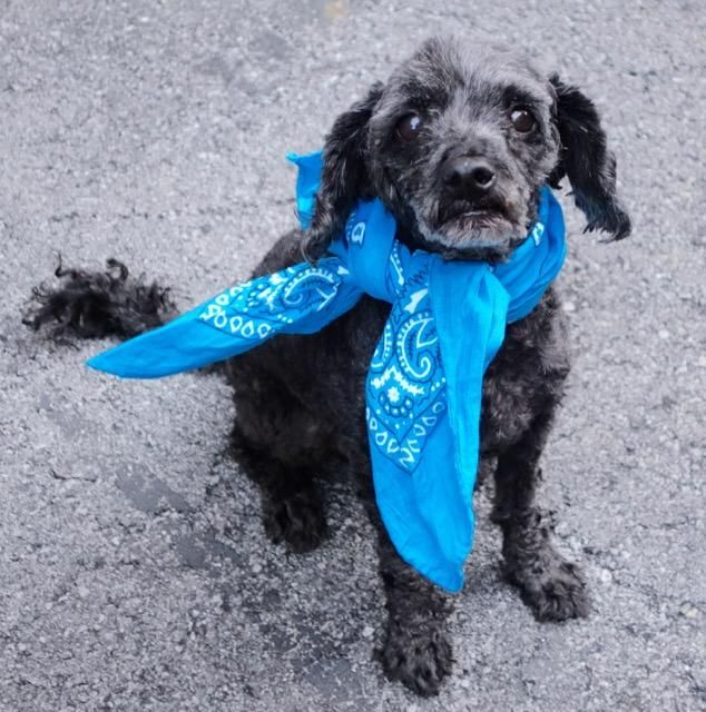 ♡ SAFE ♡ My name is PEPPER. My Animal ID # is A1079787. I am a neutered male black poodle min mix. The shelter thinks I am about 8 YEARS old. I came in the shelter as a STRAY on 07/03/2016 from NY 10451, owner surrender reason stated was STRAY.