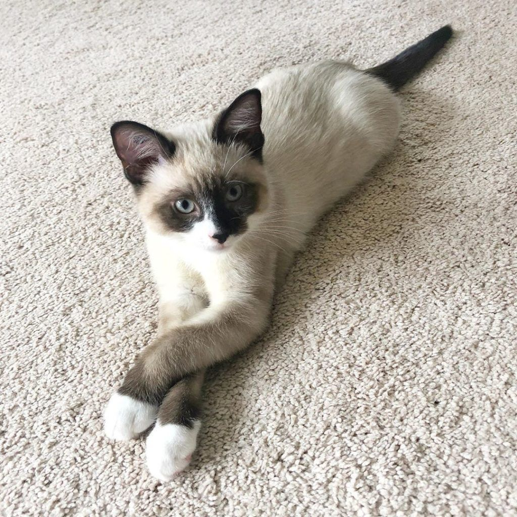 Products Angela S Siamese Kittens Home In 2020 Siamese Kittens