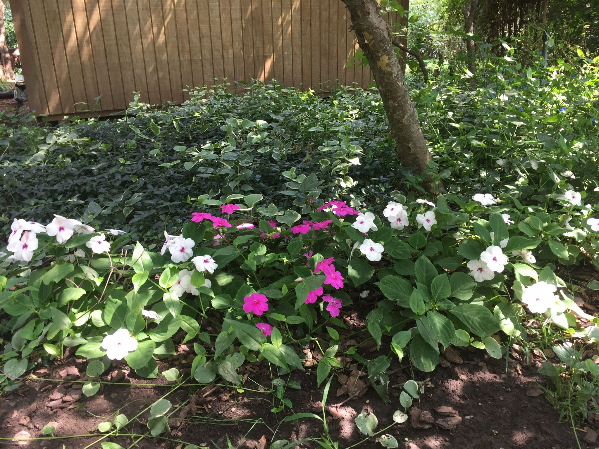 Impatiens In Foreground Annual Vinca Ground Coverperennial In