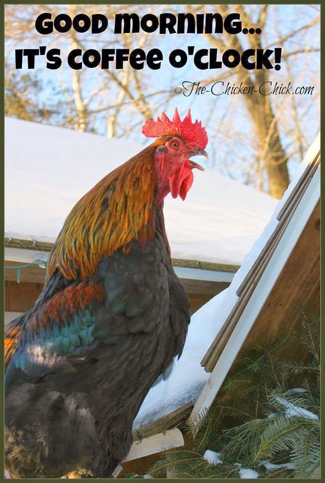 Flock Focus Friday 2 21 14 Good Morning Chicken Humor Chickens Backyard