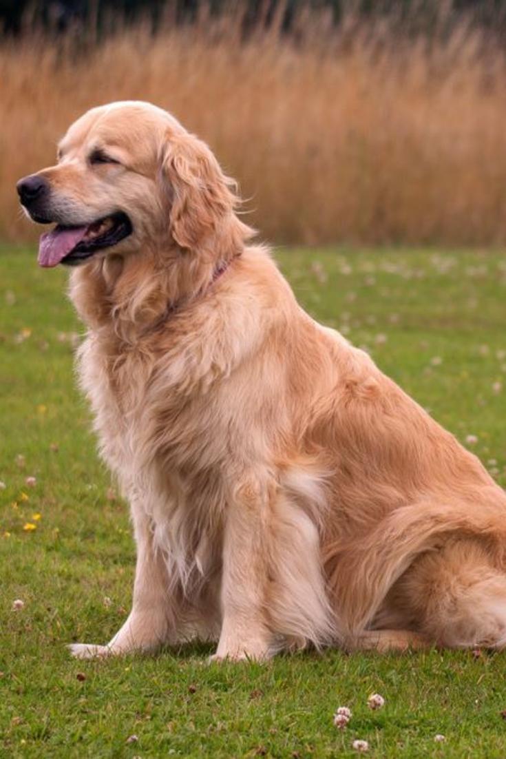 Bo A Beautiful Golden Retriever Poses In His Garden In Norfolk England Goldenretriever Golden Retriever Retriever Dogs
