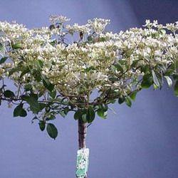 viburnum plicatum 39 watanabe 39 op stam 7 border achter. Black Bedroom Furniture Sets. Home Design Ideas