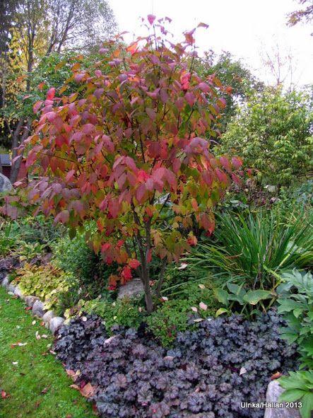 Euonymus planipes Trdgrdsarkitektur Pinterest Garden trees