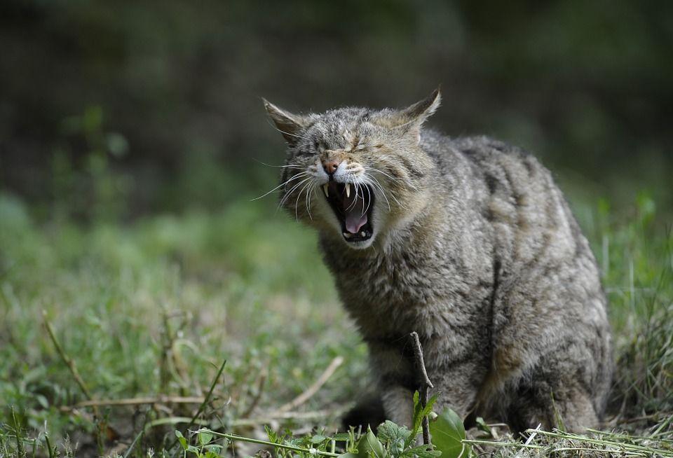 El gato montés es un mamífero carnívoro perteneciente a la familia de los felinos(félidos).