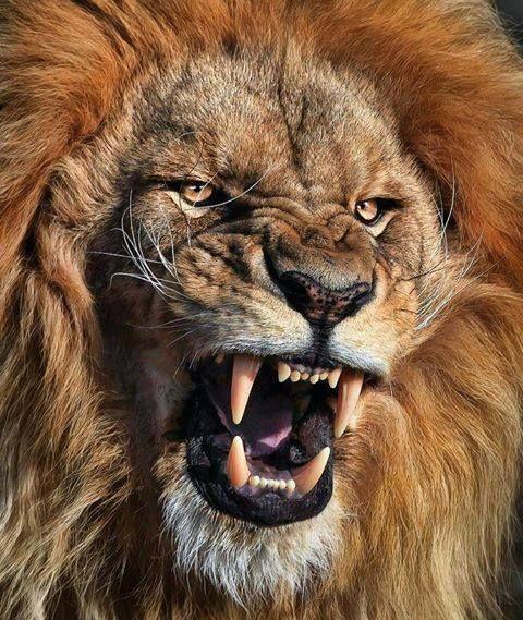 الأسد حيوان ضخم من فصيلة السنوريات وأحد السنوريات الأربعة الكبيرة المنتمية لجنس النمر باللاتينية Panthera وهو ي عد ثاني أ Animals Lion Photography Big Cats