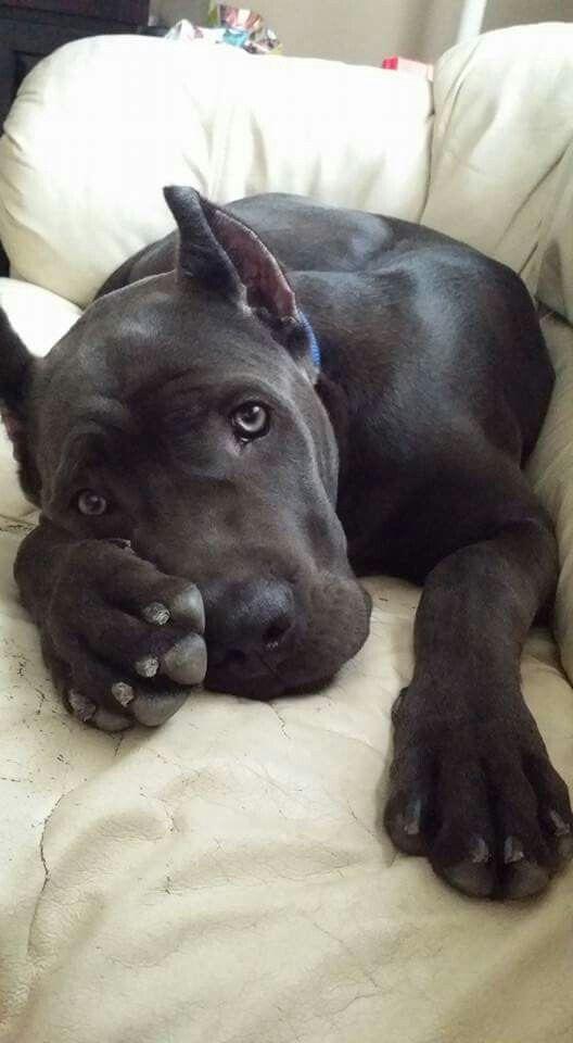 Cane Corso Dogs Cute Animals Corso Dog