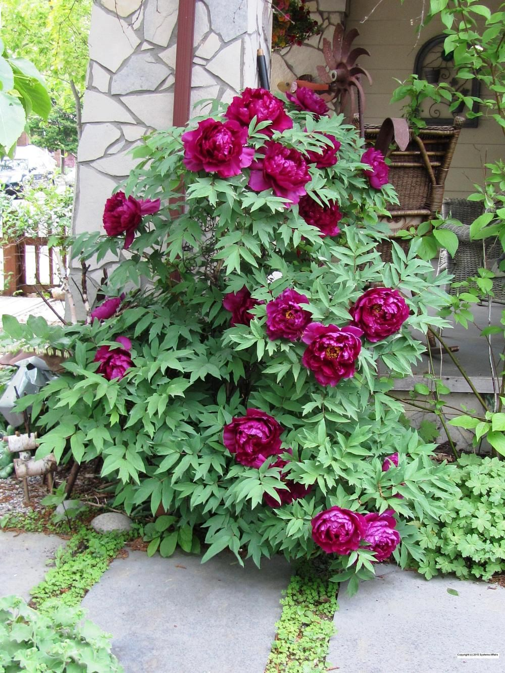 paeonia x suffruticosa 39 shimadaijin 39 upper beaches. Black Bedroom Furniture Sets. Home Design Ideas