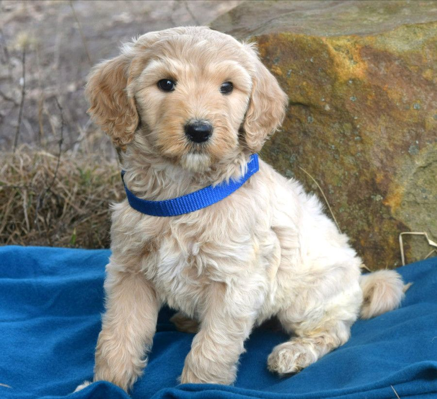 Puppy Eyes This Goldendoodle Baby Is Fluffy Soft