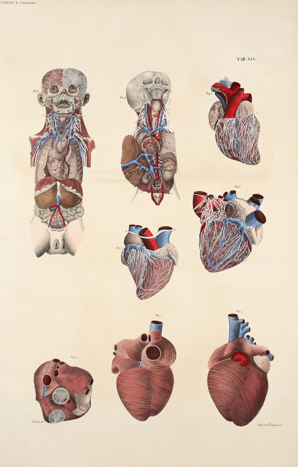 Human heart; vintage anatomical illustration. Le Corps Humaine ...