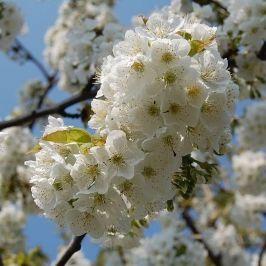 Kwitnace Wisnie Plants Spring