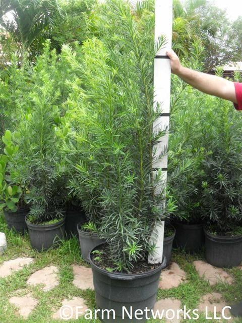 7 Gallon Podocarpus Maki South Florida Hedges Nursery