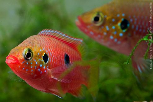Biotop-Aquaristik Westafrika: Foto des Tages: Hemichromis spec. Gabun Paar