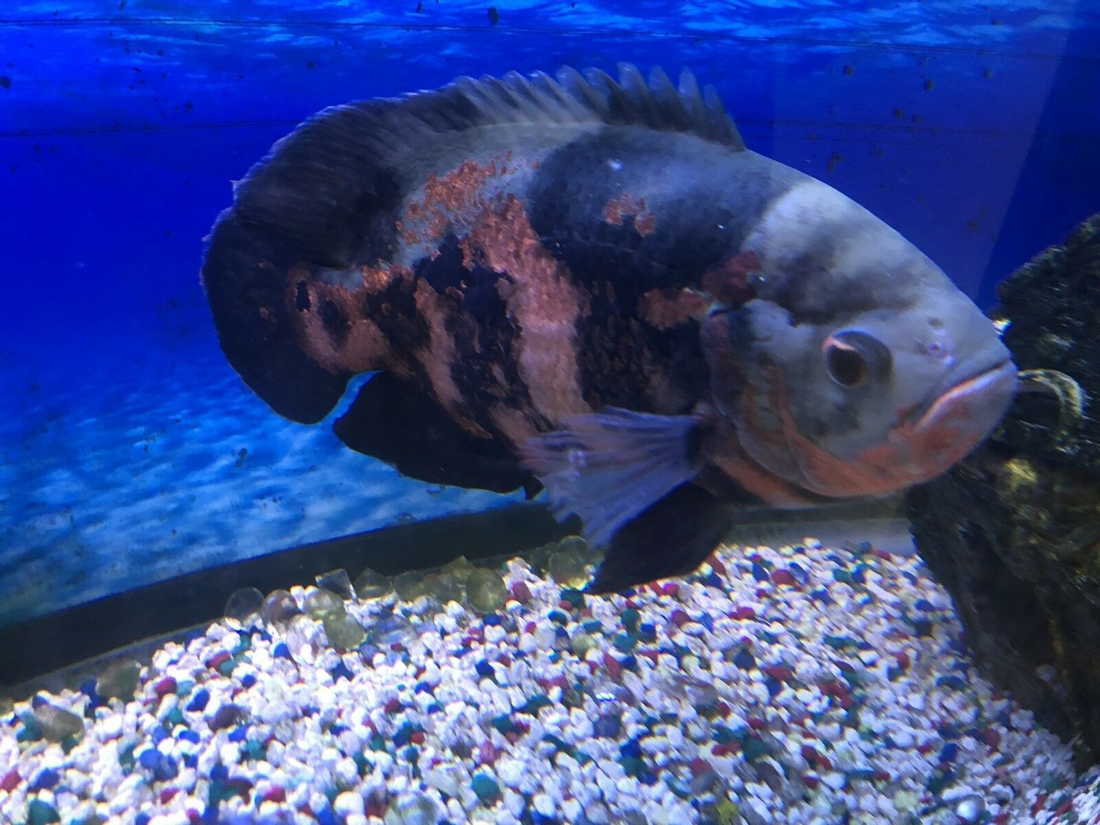 Oscar Fish Large 10 To 11 Inch Oscar Fish Oscar Fish For Sale Fish