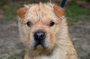 Adopt Sweet Pea On Terrier Dogs Dogs Dog Cat