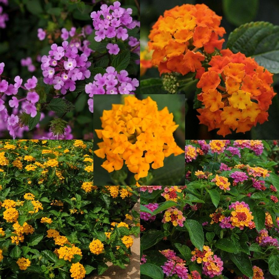 Lantana Hanging Basket Gorgeous Lantana Mixed Collection Of Five Plug Plantsgreat In Hanging Inspiration
