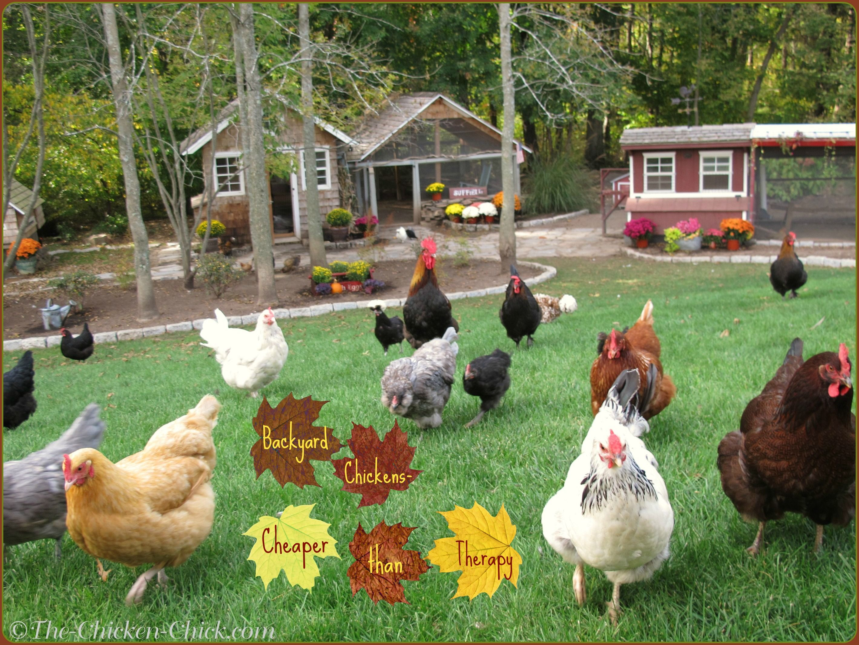 Backyard Chickens- Cheaper than therapy.   Chickens ...