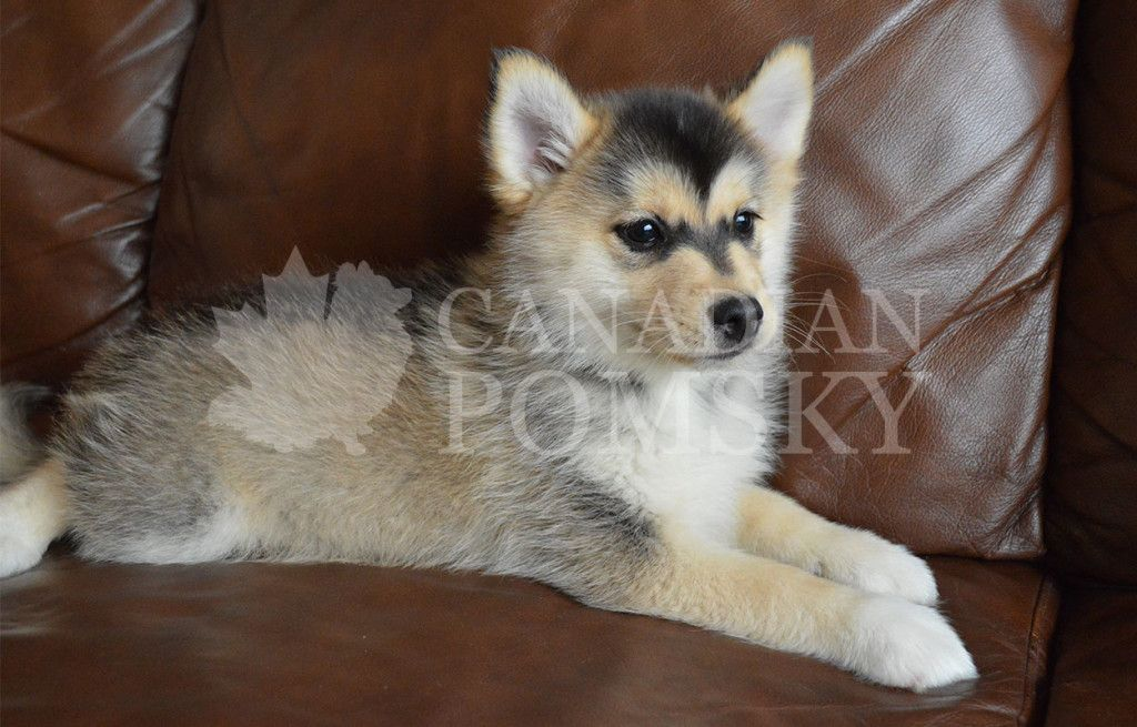 Available Puppies | Canadian Pomsky | Puppies, Dogs, Pomsky
