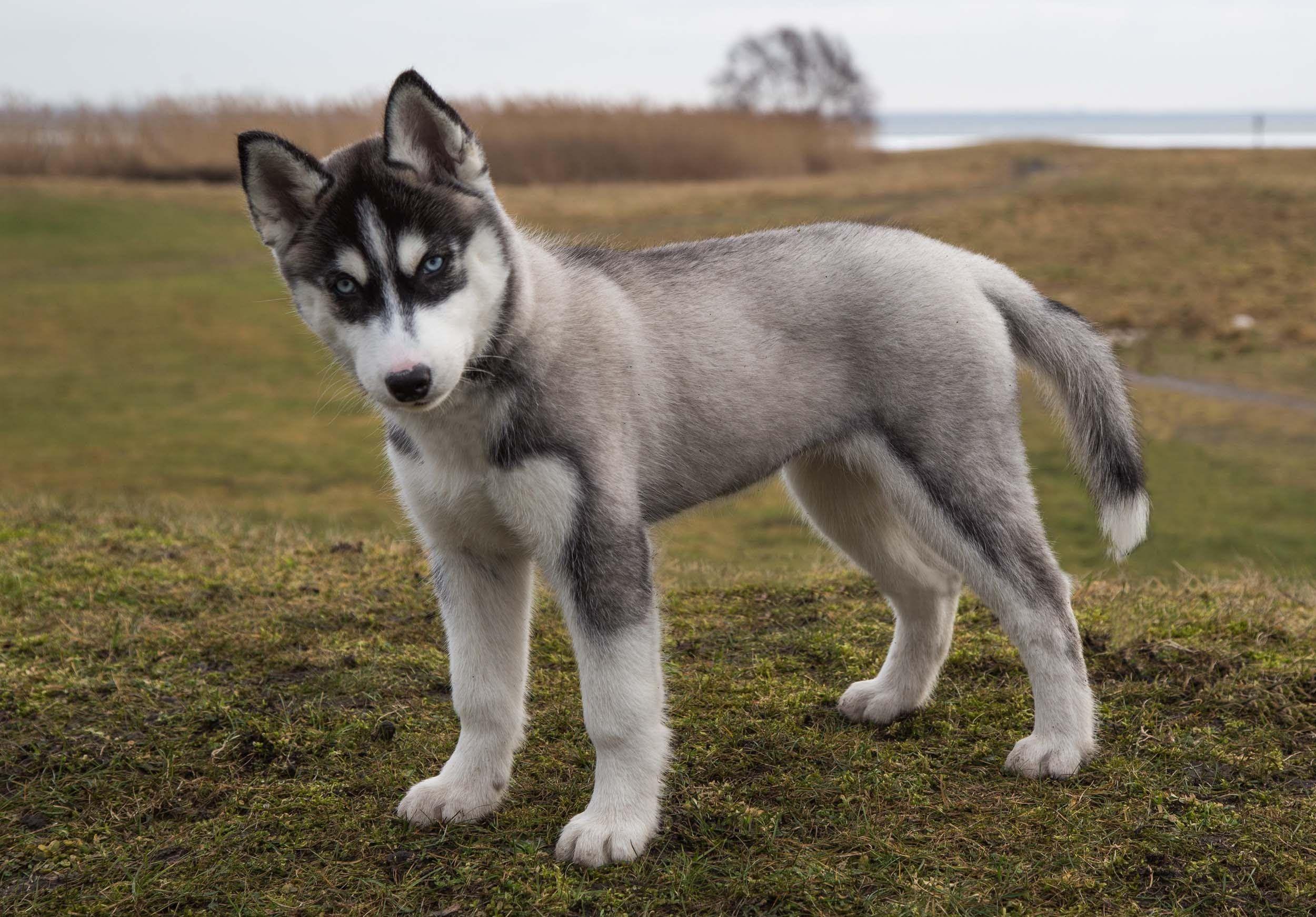 Siberian Husky As A Pet Characteristics Very Cute Puppies
