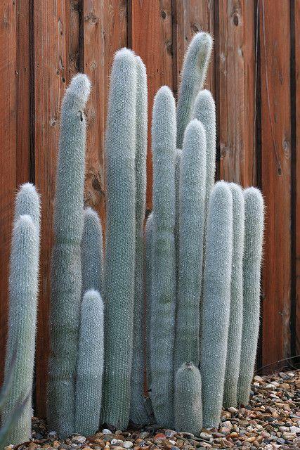 Silver Spires Cactus