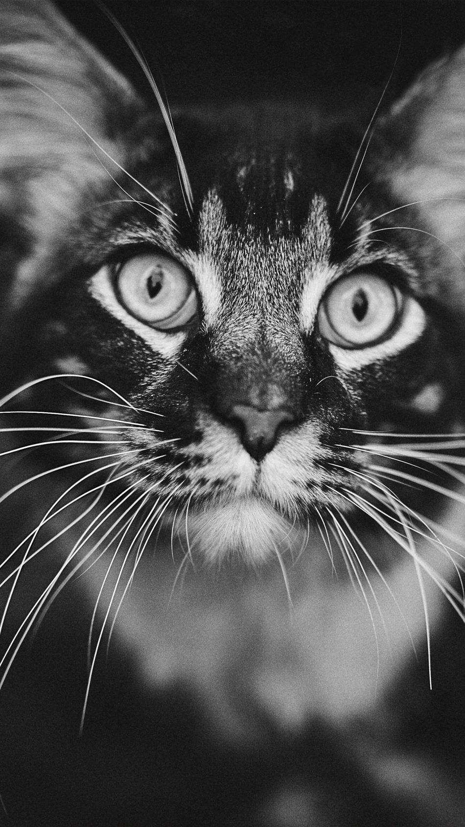 Staring Cat Black White 4k Ultra Hd Mobile Wallpaper
