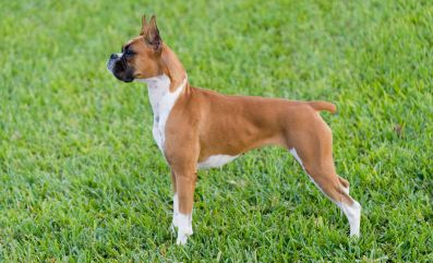 Boxer Puppies For Sale Health Guaranteed Keystone Puppies Boxer Puppies Working Dogs Breeds Boxer Dogs