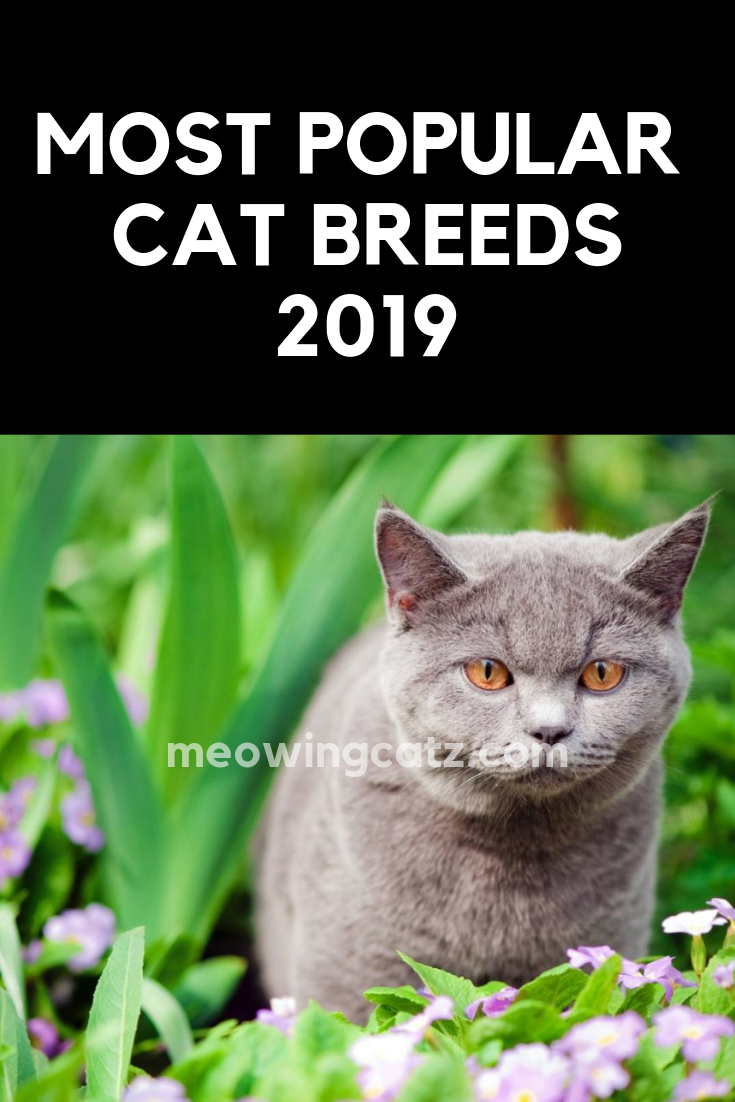The 5 Most Popular Cat Breeds In 2019 Cat Breeds Chart Popular