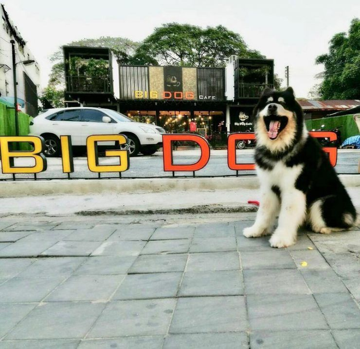 9 Cuddly Reasons To Visit Big Dog Cafe Bangkok Meet Rare Huge
