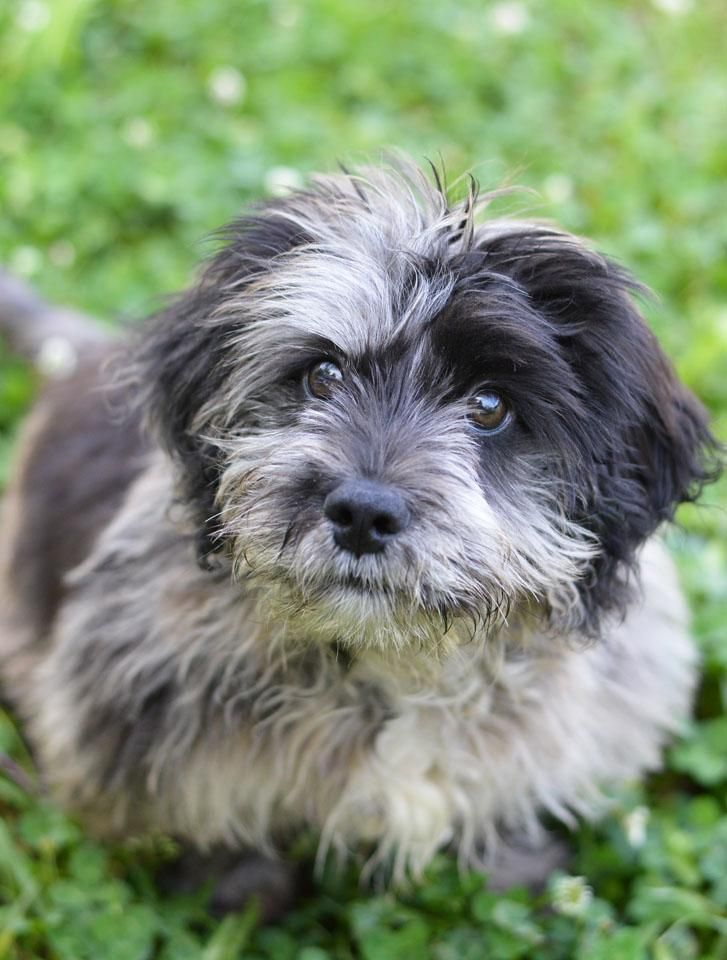Adopt Blue On Dogs Dogs Shih Tzu Adoption