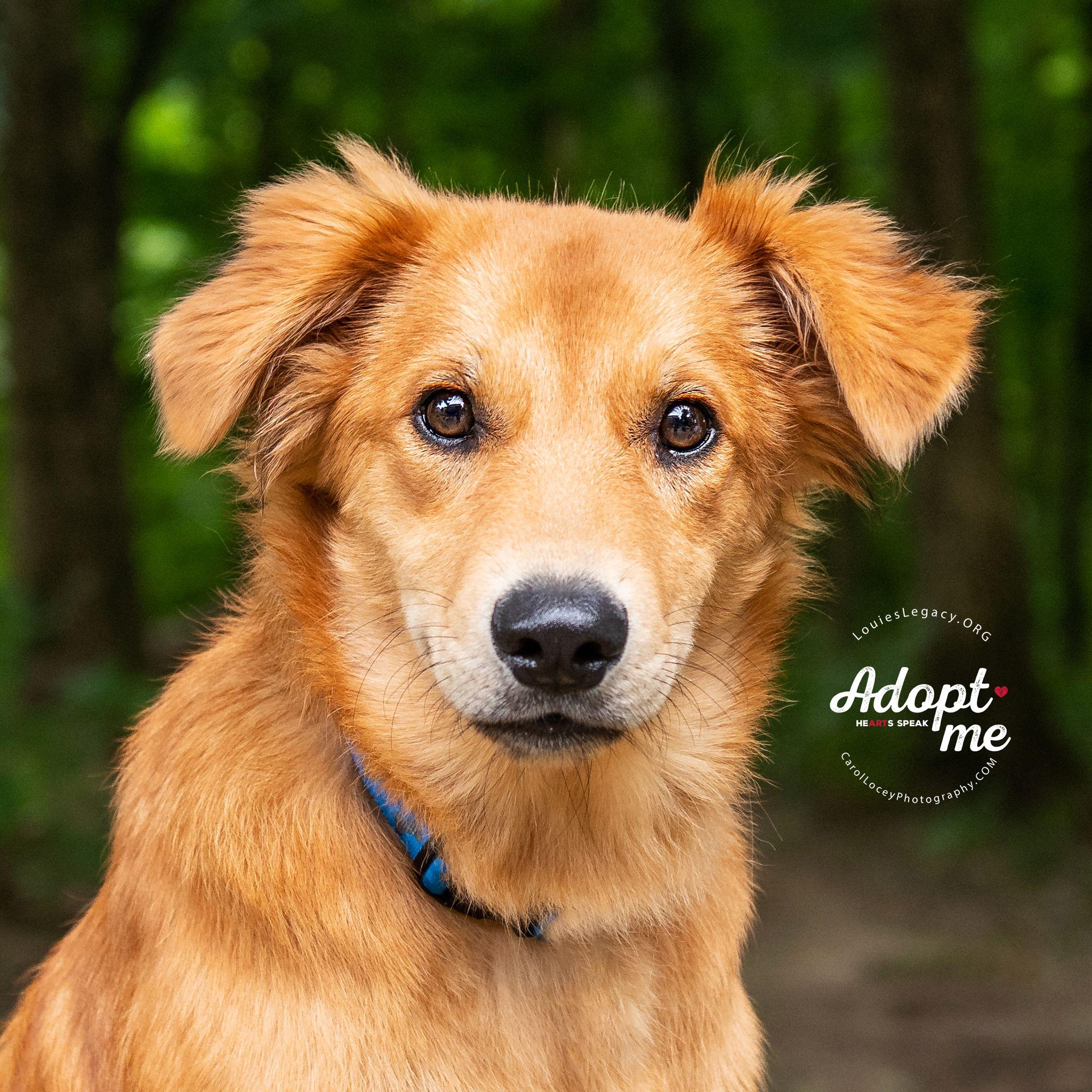 Adopt Jackson On Petfinder Shetland Sheepdog Shetland Sheepdog Blue Merle Sheepdog