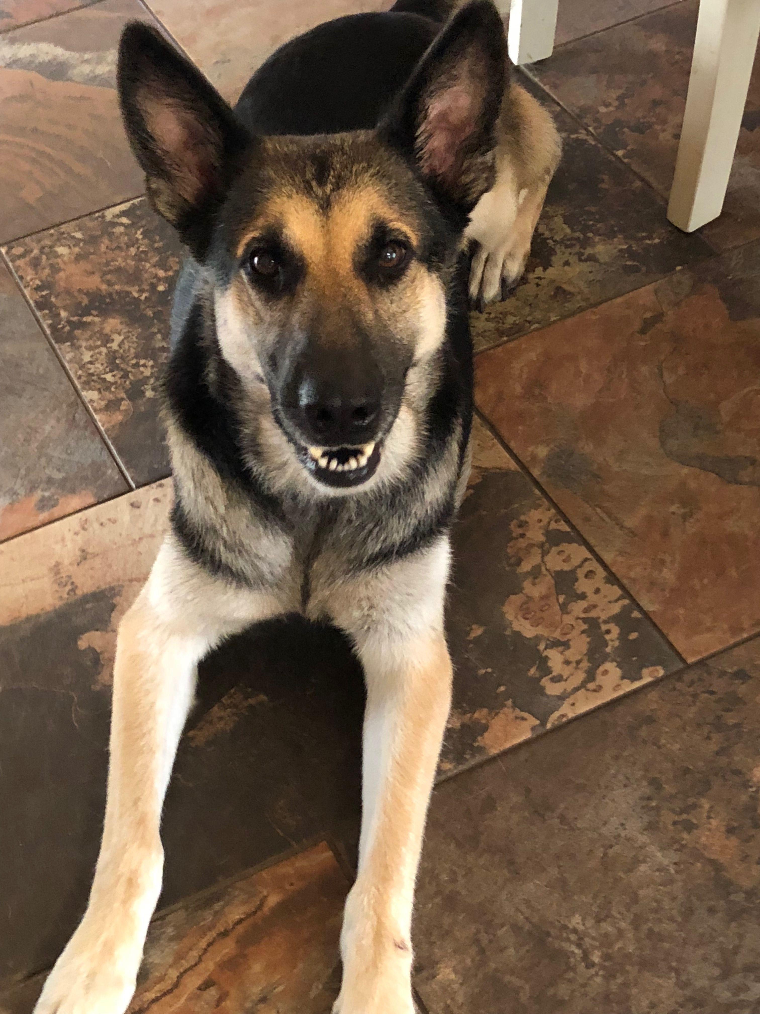 Pin By Lani S Lucky Shepherds Of Houston A German Shepherd Dog